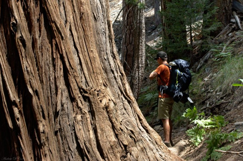 san gorgonio massive tree