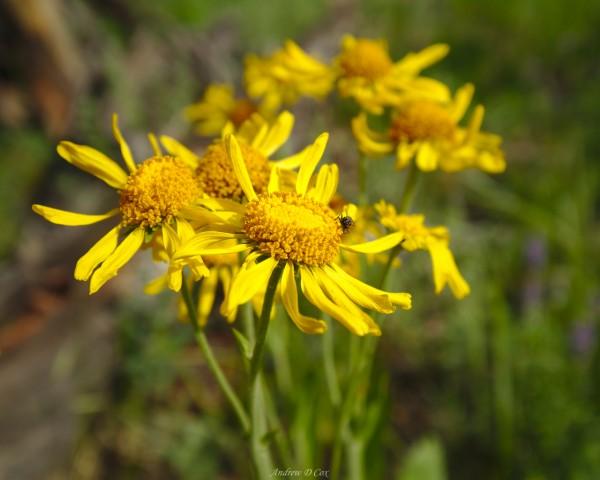 alpine sunflower sierra nevada flower
