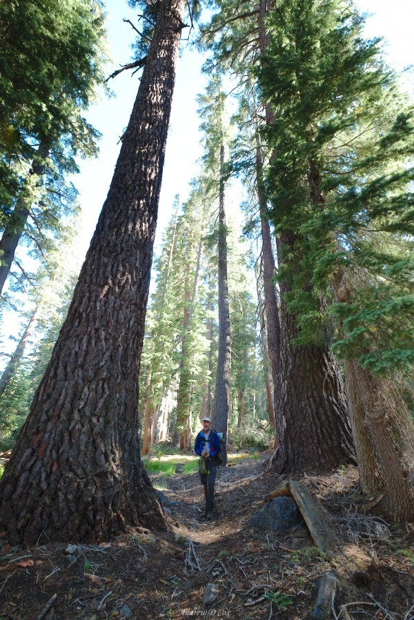giant jeffrey pines