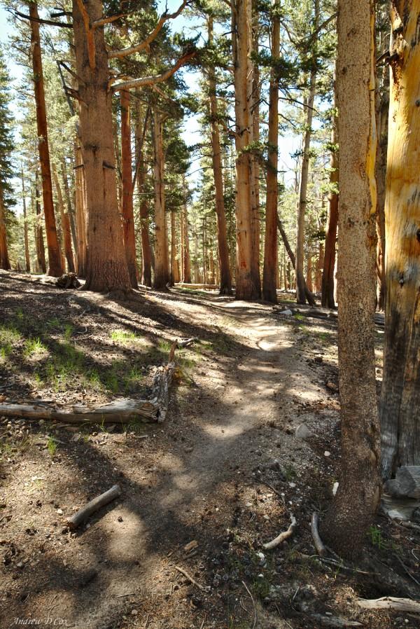 john muir trail pine forest
