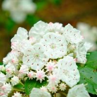 appalachian trail flower blossom