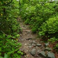mountain laurel appalachian trail