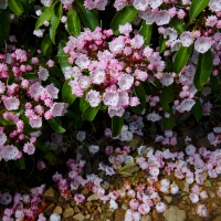 dolly sods wilderness mountain laurel