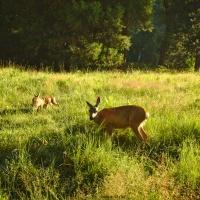 deer yosemite meadow