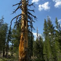 yosemite backcountry wilderness foxtail pine