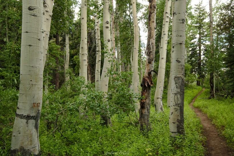 aspen trees john muir trail