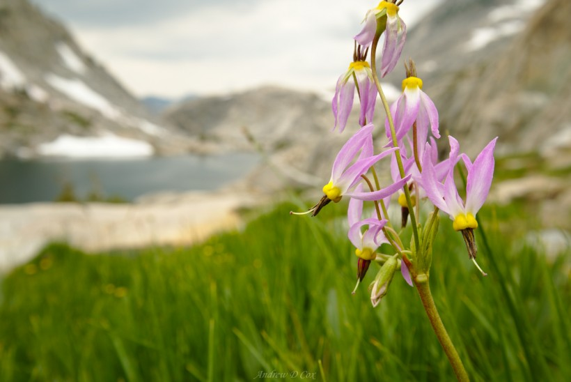 john muir trail shooting star flower