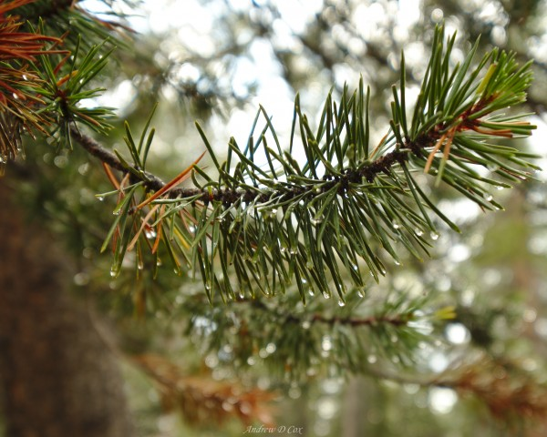 john muir trail pine needle rain