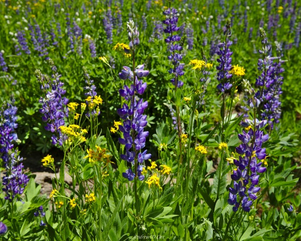 john muir trail wildflowers
