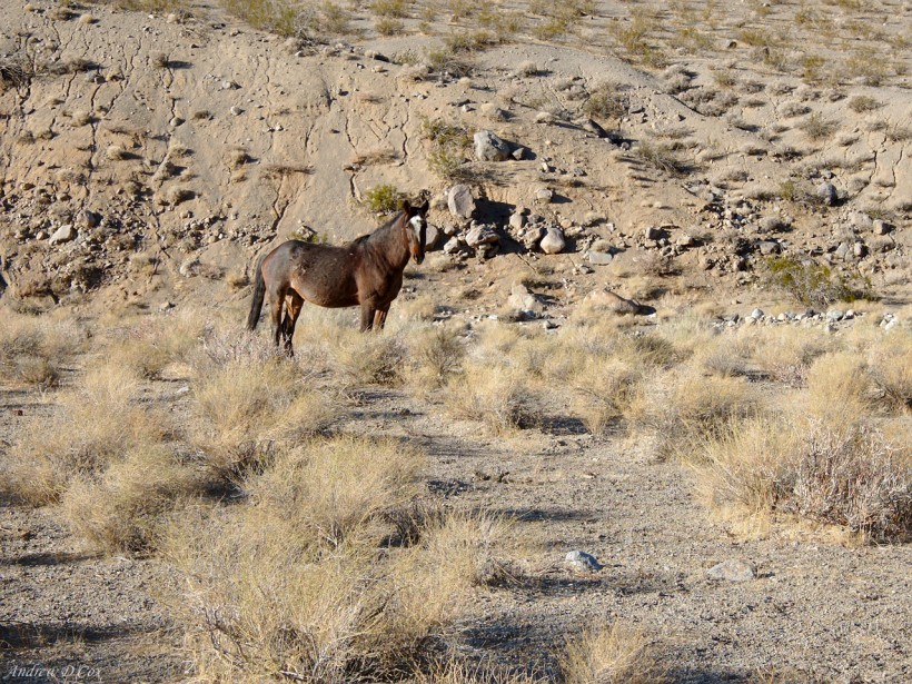 death valley wild horse stallion