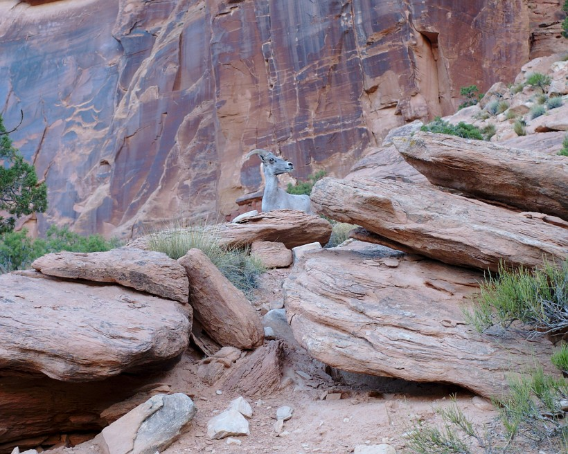 colorado national monument desert bighorn sheep