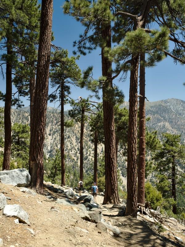 mount san antonio jeffrey pines
