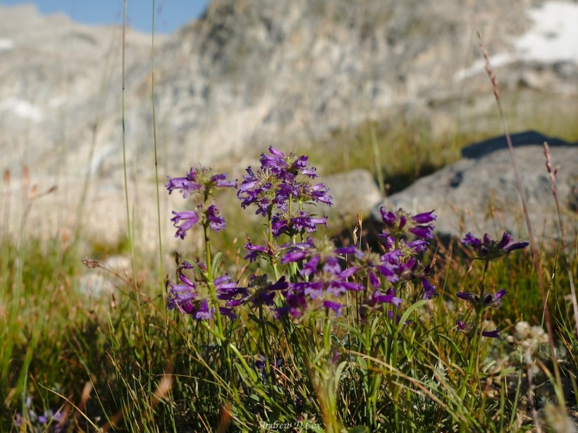 sierra high route wildflower beardtongue