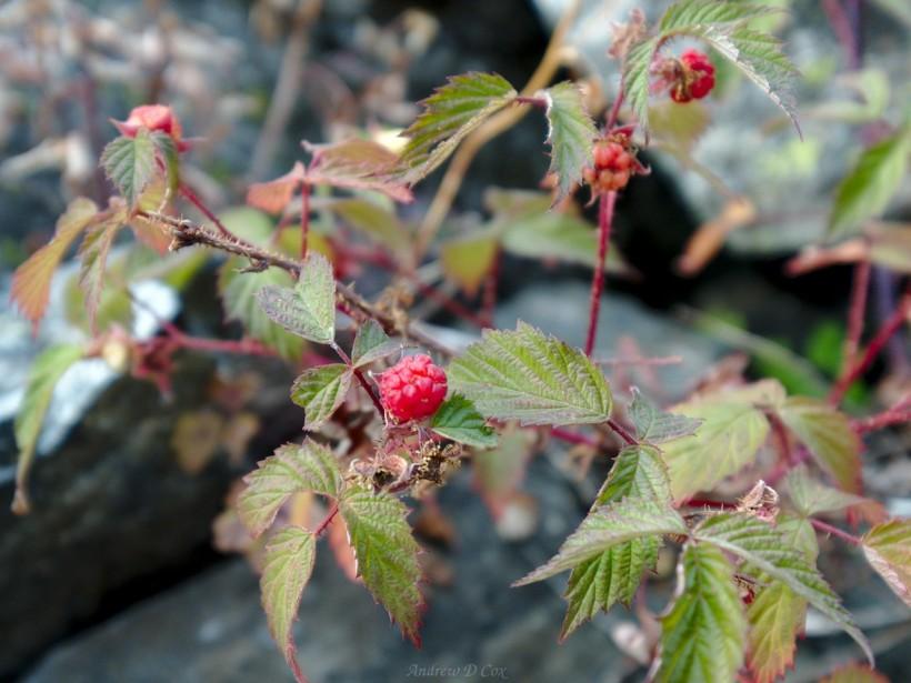 teton mountains raspberries