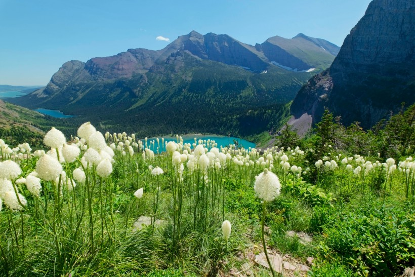 glacier national park bear grass