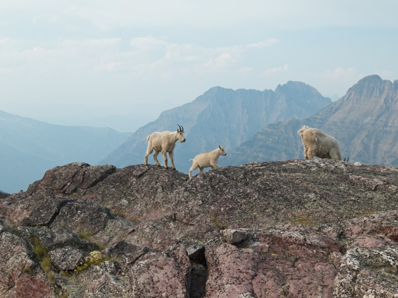 glacier national park goats