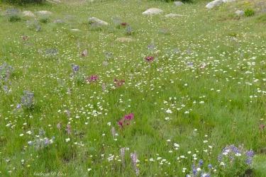 sierra nevada wildflowers