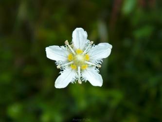 teton mountains wildflower fringed grass of parnassus