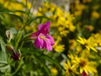 teton mountains purple monkey flower