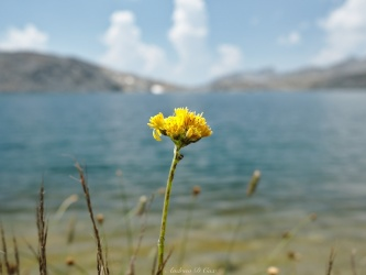 sierra high route butterweed