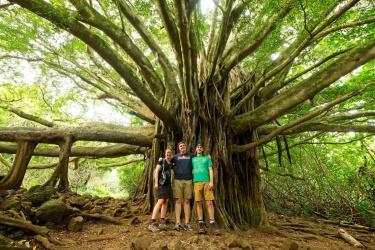 pipiwai trail banyan tree